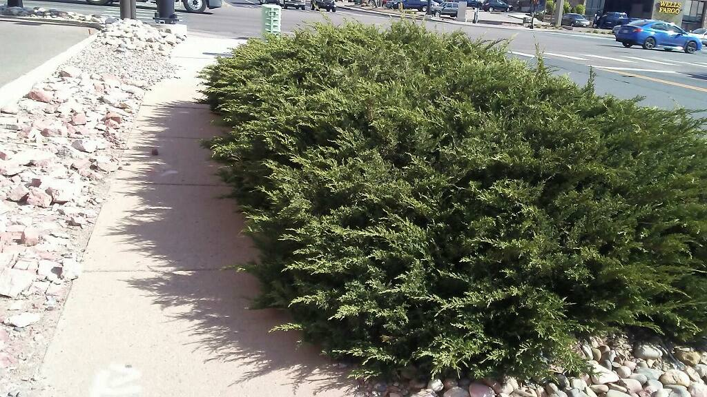 commercial-hedge-pruning-before-colorado-springs