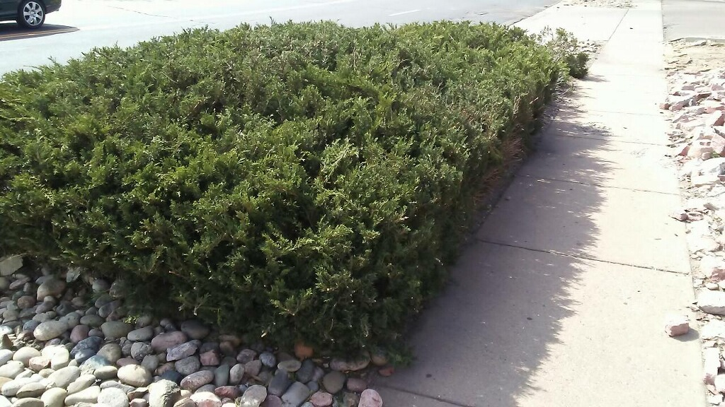 commercial-hedge-pruning-colorado-springs